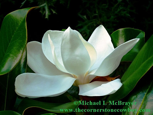 Closeup of White Magnolia Bloom, Floral Photography