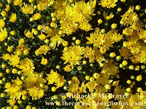A Collection of Bright Yellow Mums, Close-up Photography