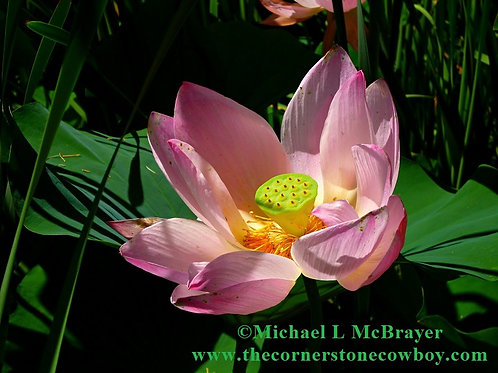 Pink Lotus Blossom Close-up, Floral Photo