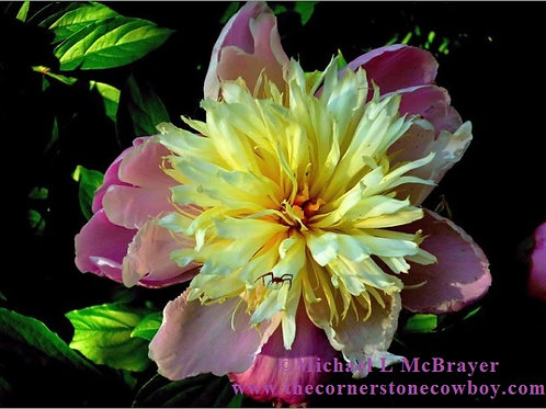 Peony and Spider Greeting Card, White Envelope, Close-up Floral Photo