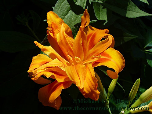 Orange Daylily Bloom, Close-up Floral Photography, Unframed Wall Art