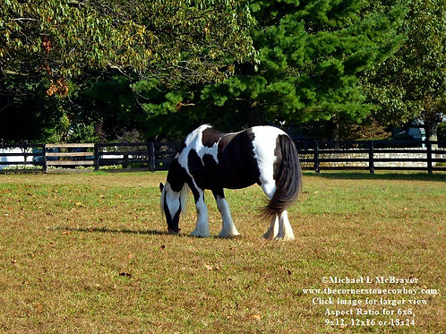 A Gypsy Vanner Horse, Equine Photography