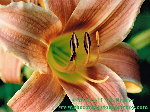 Orange Daylily Flower Close-up, Floral Photography