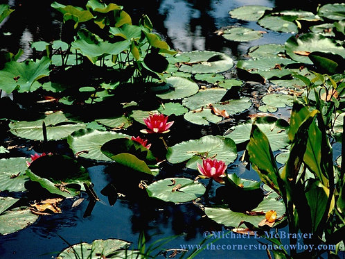 Red Water Lilies, Water Garden, Nature Photography