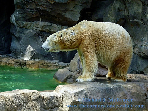 Polar Bear beside Rocky Pool, Wildlife Photography