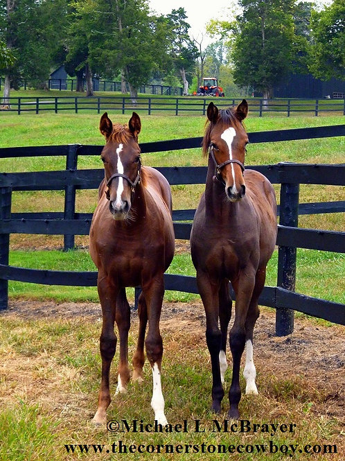 Two Young Thoroughbreds Posing for the Camera, Horse Photography