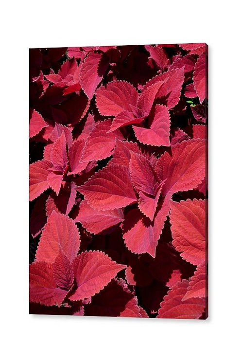 Red Leaf Coleus Close-up, Acrylic Wall Art