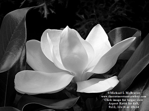 Closeup of White Magnolia Bloom, Black and White Floral Photography