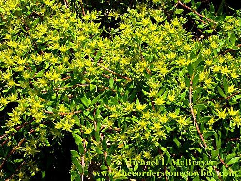 Yellow Sedum Closeup, Floral Photography