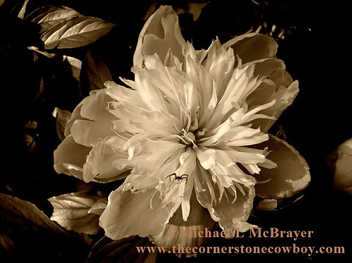 Peony and Spider  Sepia Tone Photo, Close-up Floral Photography