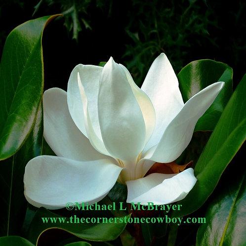 Closeup of White Magnolia Bloom, Square Floral Photo