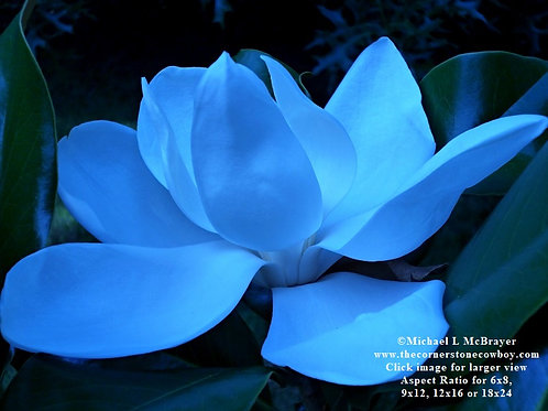 Blue Magnolia Bloom, Abstract Floral Photo