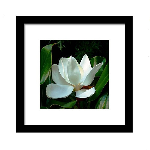 Magnolia Closeup Squared, Framed 8x8 Photo Print