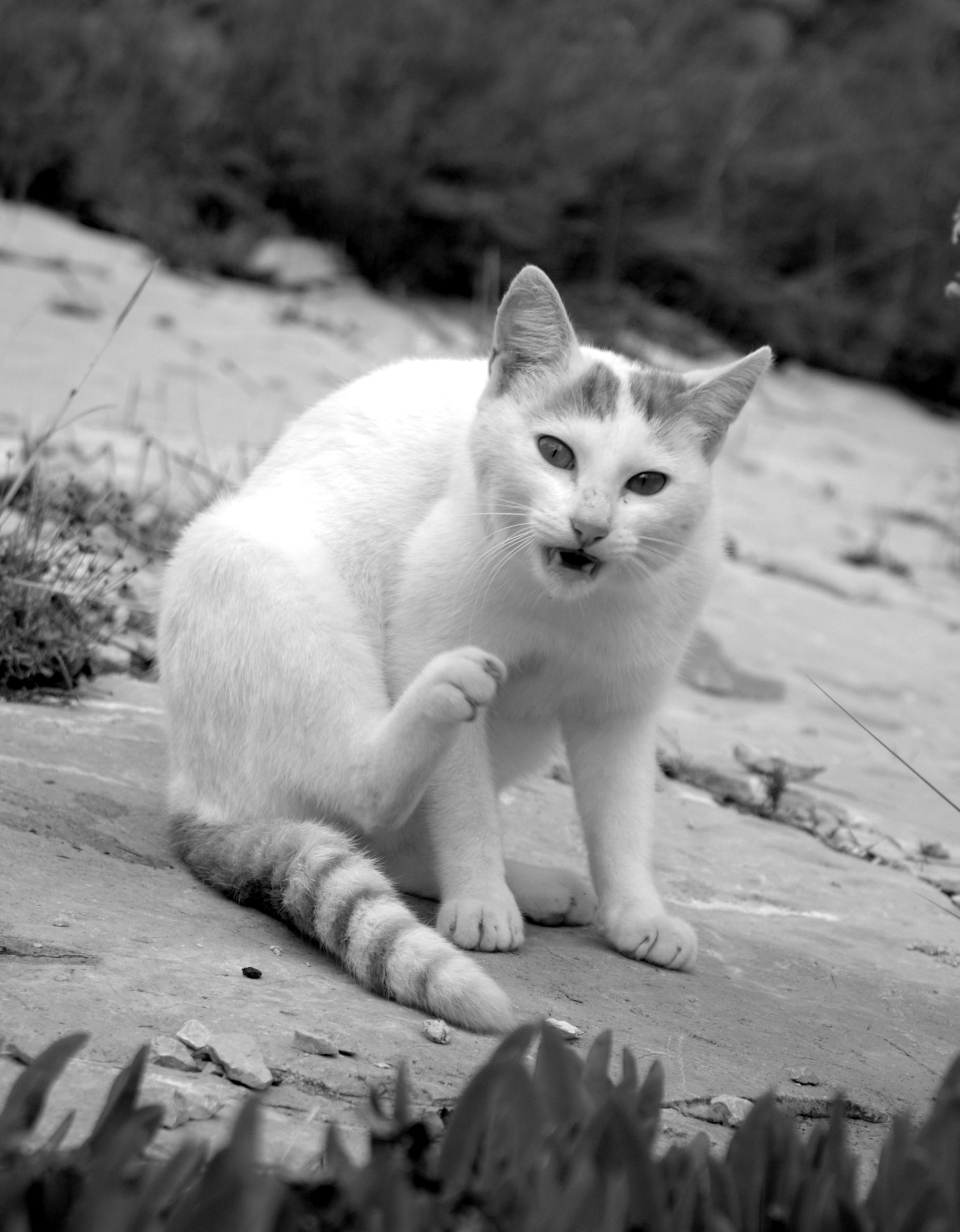 CROATIAN CAT