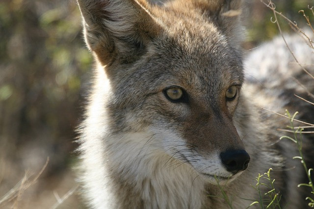 Keeping Long Beach Safe From Coyotes   Pet Waggin' Pet Care