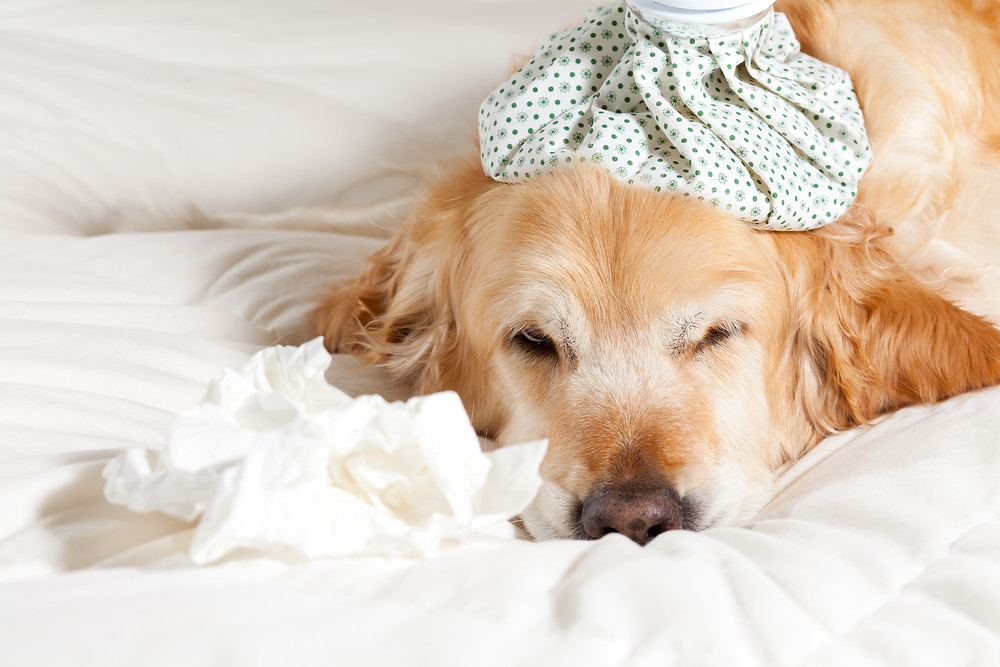 Canine Flu Reported in LA County | Pet Waggin' Pet Care