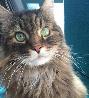 multi-colored cat sitting forward facing