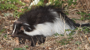 The Ultimate Guide to De-Skunking Your Pet