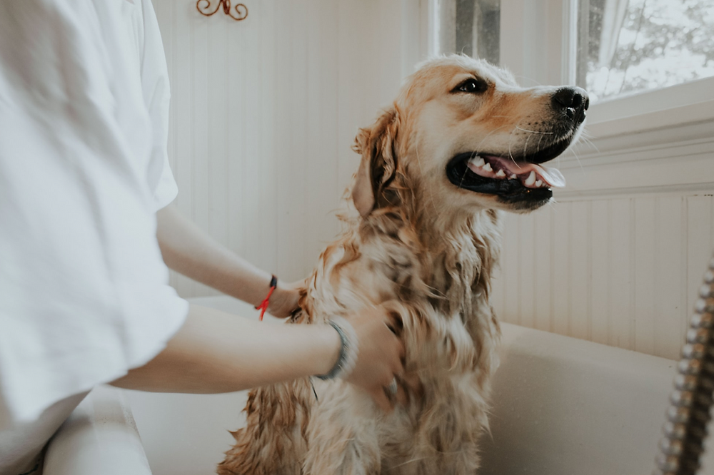 My Dog Has Fleas | Long Beach and Signal Hill | Pet Waggin' Pet Care