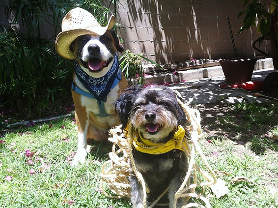 two dogs dressed like cowboys playing in a yard
