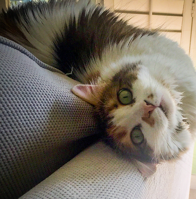 multi-colored cat playing on a couch during cat-sitting visit