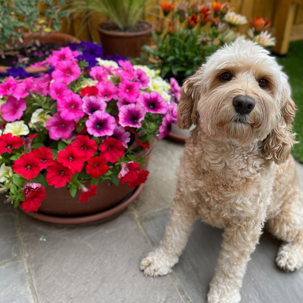 Gardening with a cockapoo