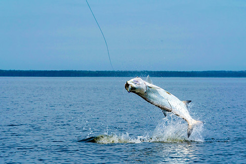 150 Pounds of Everglades Tarpon