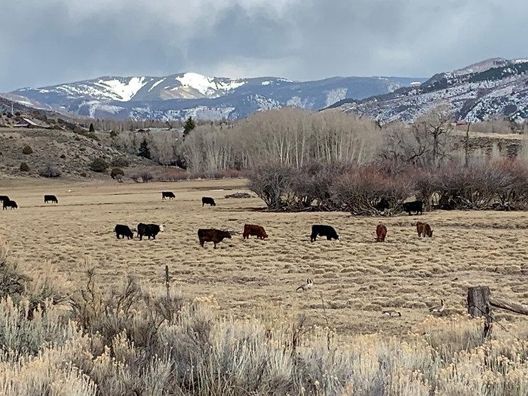 Cows Edwards.jpeg