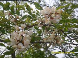 Fleures de cerisier près des ruches