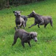 Weims-in-the-Field-10-150x150.jpg