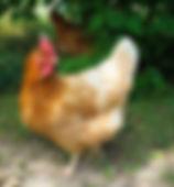 free range chickens, Jordan, Ontario, Canada