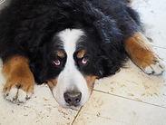 Bernese (St Bernard) dog, Sue-Ann Staff Estate Winery, Jordan, Ontario, Canada