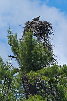 female osprey on nest