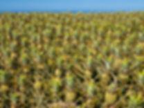 #23_Hawai'i,_Maui,_Maui_Gold®_pineapple_
