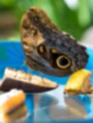 butterfly feeding on fruit