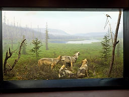 wolf diorama