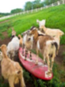 #24 goats on surfboard, Hawai'i, Kula Va