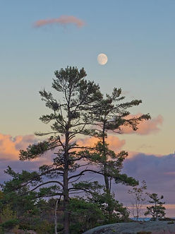 jack pine trees and rising moon