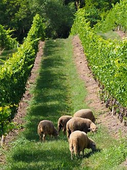 sheep, Featherstone Winery, Jordan, Ontario, Canada