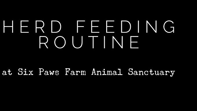 Evening Feeding Routine for the Herd
