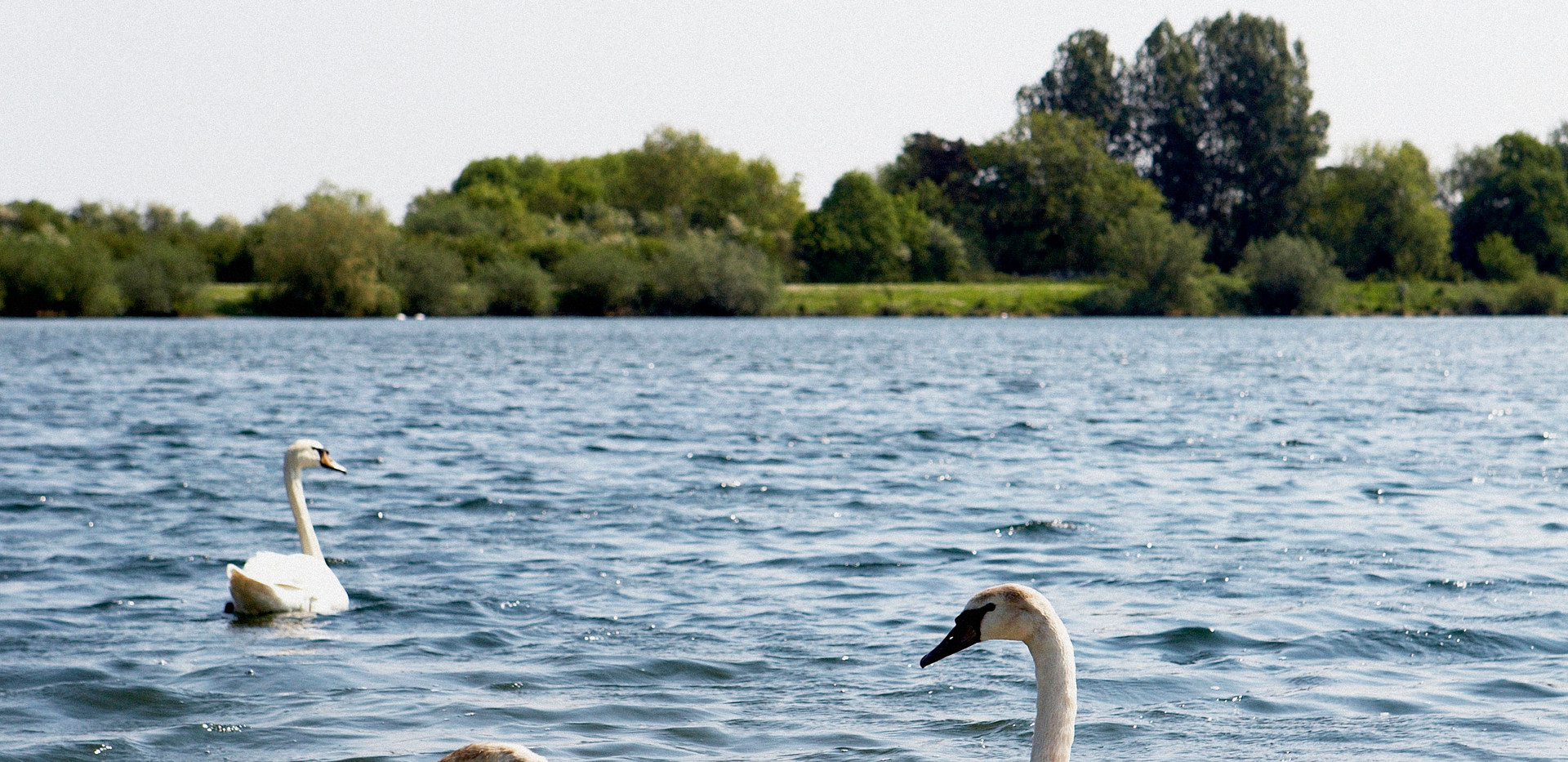 Swans on Somerford Lagoon