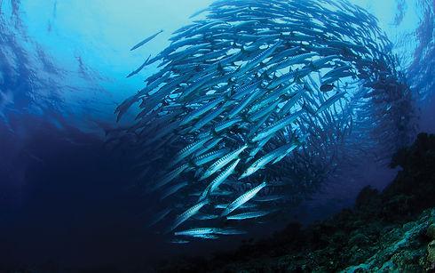 Peixes cardume oceano.jpg