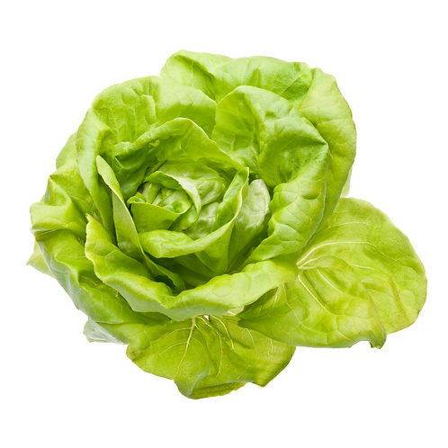 hydroponic Boston bibb lettuce
