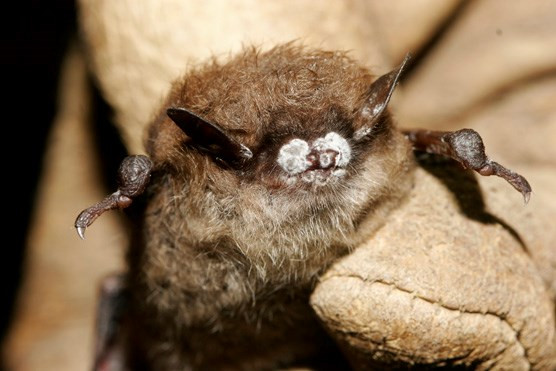 Little Brown Bat with White-Nose Syndrome, New York, Oct. 2008. Credit: Ryan von Linden/New York Department of Environmental Conservation
