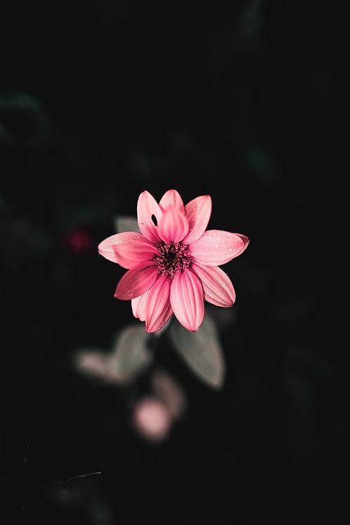 Pink Sunny Dew