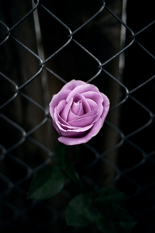 Fenced Roses