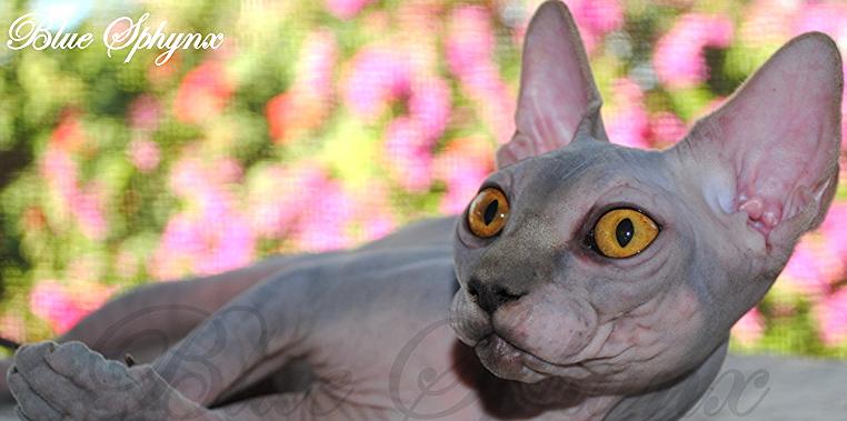 Sphynx Kittens For Sale   Bluesphynx