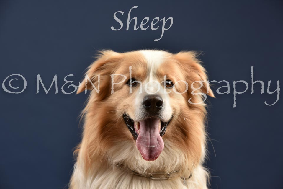 043 - Sheep-DSC_2115