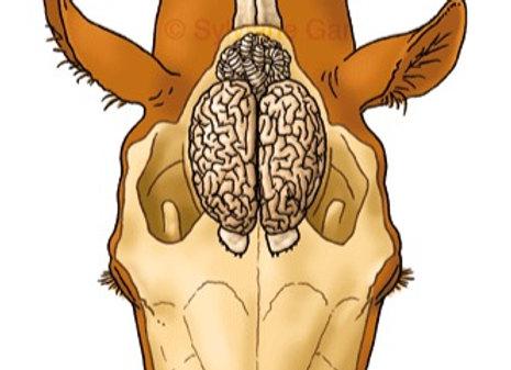 Les capacités cognitives du cheval