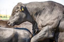 Абърдийн Ангъс бик